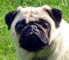כלב מבוייש-1